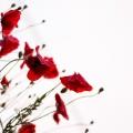 تصاویر نگارخانه متن نگار  -  طبیعت , گل, طبیعت