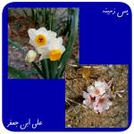 عکس خام گل